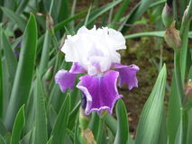 Purple and White Bearded Iris royalty free stock image