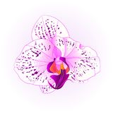 Purple and white beautiful Orchid Phalaenopsis flower closeup isolated vintage   Stock Images
