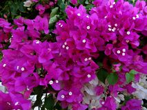 Purple and white bougainvillea stock photo