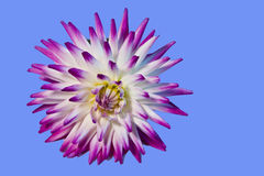 Purple and white cactus dahlia Stock Images