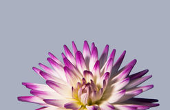 Purple and white cactus dahlia Stock Image