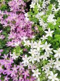 Purple and white campanula flowers. A floral display of purple and white campanula flowers in bloom during summertime Stock Photo