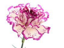 Purple and white carnation. Isolated purple and white carnation on white Royalty Free Stock Photography
