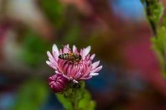 Purple and white Chrysanthemum flower and bee stock photo