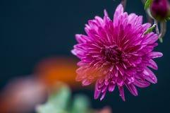 Purple and white Chrysanthemum flower stock photo