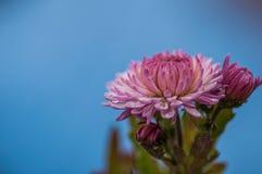 Purple and white Chrysanthemum flower royalty free stock photo