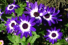 purple-and-white cinerarias Royalty Free Stock Photography