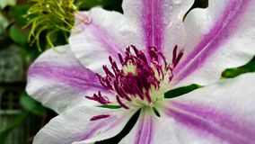Purple and White Clematis - Nelly Moser royalty free stock image
