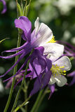 Purple and White Columbine Close-up. Macro Stock Image