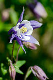Purple and white columbine Royalty Free Stock Photography