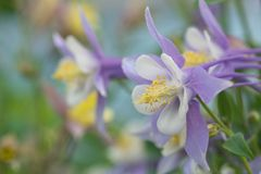 Purple and white columbine flower Royalty Free Stock Photography