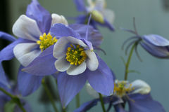 Purple and White Columbines  Royalty Free Stock Images