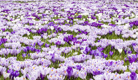 Purple white crocus stock photos
