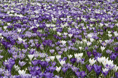 Purple white crocus Royalty Free Stock Image