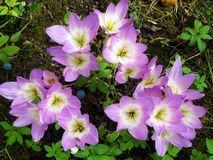 Purple white Crocus flowers in autumn garden. stock photo