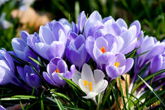 Purple and white crocus flowers Stock Photography