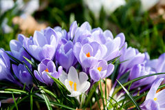 Purple and white crocus flowers Stock Photo