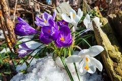 Spring crocus heuffelianus flowers on spring stony meadow royalty free stock photos