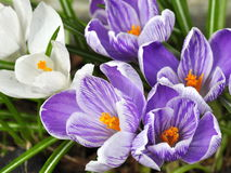 Purple and white crocus Royalty Free Stock Image