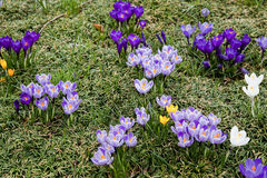 Purple and White Crocus Royalty Free Stock Photos