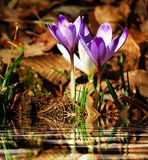 Purple and white crocus vernus by water. Royalty Free Stock Photos