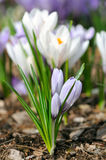 Purple and White Crocuses Royalty Free Stock Images