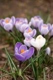 Purple and white crocuses Royalty Free Stock Photos