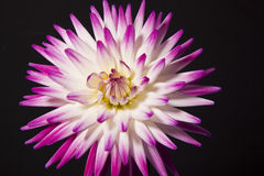 Purple and white dahlia flower. Against black background Stock Images