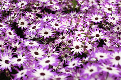 Purple and white daisies background Royalty Free Stock Image