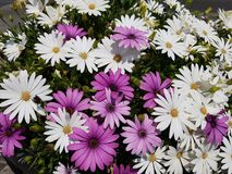 Purple and white daisy flowers in garden. Nature and botany, decorative plant for gardens, natural flower with petals and colors Stock Photography