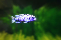 Purple and White Fish. A purple and white tropical fish with a green background Stock Photos