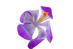 Purple And White Flower Royalty Free Stock Images