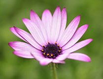 Purple and white flower. On a green background Stock Image