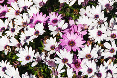 Purple and white flower close up Royalty Free Stock Photo