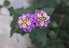 Purple and white flower cluster of a Lantana plant Royalty Free Stock Photo
