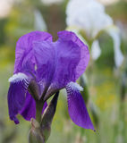 Iris versicolor purple flower. Royalty Free Stock Photos