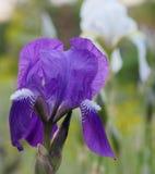 Iris versicolor purple flower. Royalty Free Stock Photos
