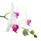Purple and white flower orchid, phalaenosis isolated on white Stock Image