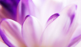 Purple and white flower petals. Macro of soft white and purple petals of a flower Stock Photo