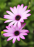 Purple and white flowers. Two purple and white flowers Royalty Free Stock Photography