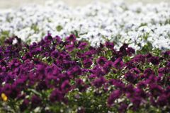 Purple and white flowers stock images
