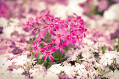 Purple and white flowers blooming in springtime Royalty Free Stock Image