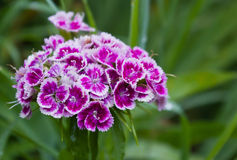 Purple and white flowers. On a blurred background Stock Image