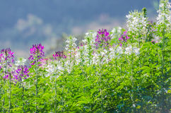 Purple and white flowers in the field with blurred background Stock Image