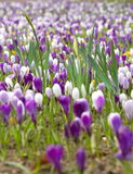 Purple and white flowers in field of flowers in beginning of spring. Beautiful flowers show the coming of spring and the revival of nature; everything is alive Stock Photos