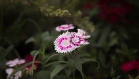 Purple and White Flowers in Tilt Shift Lens Royalty Free Stock Photo