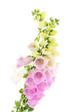 Purple and white  Foxglove Royalty Free Stock Images