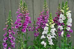 Purple and white foxglove flowers Stock Images