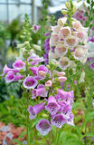 Purple and white foxglove flowers Stock Photography
