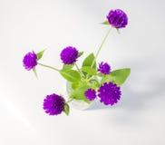 Purple and white Globe Amaranth (Bachelor Button) Stock Image